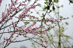 Japanese cherry, tree branch close-up. Japanese cherry, tree branch of pink blossoms and green leaves close-up Stock Image