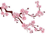 Japanese cherry tree. A branch of pink cherry blossom.  on white background. illustration Royalty Free Stock Photography