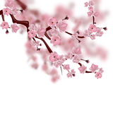 Japanese cherry tree. A branch of pink sakura blossom. Isolated on white background  Stock Photos