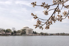 Japanese cherry tree buds and blossoms with Jefferson Memorial Royalty Free Stock Image