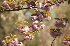 Japanese cherry tree detail of flowers Stock Images