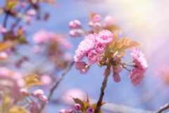 Japanese cherry tree, flowering branch of cherry tree. Japanese cherry tree lit by sunlight, flowering cherry tree - beautiful flowering, blooming Japanese Stock Image
