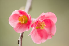 Japanese cherry tree flowers in full bloom Royalty Free Stock Photos