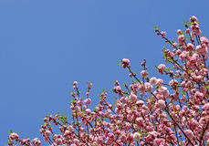 Japanese cherry tree flowers Royalty Free Stock Photo