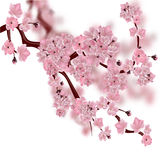 Japanese cherry tree. The fluffy pink cherry blossom branch. on white background with a blurred background. Vector illustration vector illustration