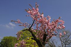 Japanese cherry tree, Germany Royalty Free Stock Photography