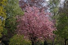 Japanese cherry tree on Germany Stock Photos