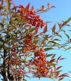 Japanese cherry tree royalty free stock photos