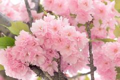 Flowering - blooming Japanese cherry tree beautiful nature in spring. Japanese cherry tree lit by sunlight, flowering cherry tree - beautiful flowering, blooming Royalty Free Stock Image