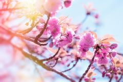 Japanese cherry tree lit by sunlight, flowering cherry tree - beautiful flowering. Blooming Japanese cherry tree Stock Image