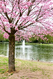 Japanese cherry tree with pink flowers Stock Image