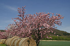 Japanese Cherry tree in spring, Bale of straw Stock Images