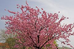 Japanese cherry tree in spring, Germany Stock Photos