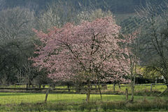 Japanese Cherry tree in spring, Germany Stock Photography