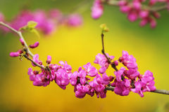Japanese cherry tree twig in bloom Stock Photo