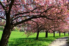 Japanese cherry trees. Japanese flowering cherry trees in the Botanic Garden of Berlin Stock Images