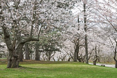 Japanese cherry trees in bloom Stock Image
