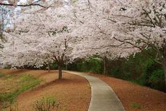 Japanese Cherry Trees in bloom Royalty Free Stock Photo