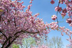 Japanese cherry trees blooming in spring stock image