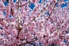Japanese Cherry Trees, Flowers Stock Image