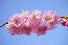 Japanese Cherry Trees, Flowers Royalty Free Stock Images