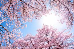 Japanese cherry blossom tree in full bloom during springtime stock images