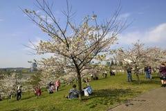Japanese cherry trees  Lithuanian park Stock Photos