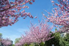 Japanese cherry trees blooming in spring royalty free stock photos