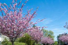 Japanese cherry trees blooming in spring stock photo
