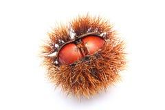 Japanese chestnut. On white background stock image