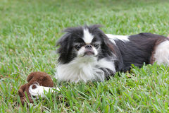 Japanese Chin 1 Royalty Free Stock Photos