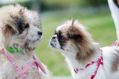 Japanese chin. A japanese chin glare at another dog Royalty Free Stock Images