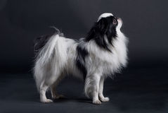 Japanese Chin. A Japanese Chin, or Japanese spaniel, standing in a studio Stock Photos