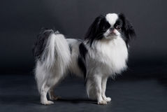 Japanese Chin. A Japanese Chin dog in a studio Royalty Free Stock Image