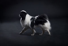Japanese Chin. A Japanese Chin, or Japanese spaniel in a studio Stock Photos