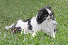 Japanese Chin 3 Royalty Free Stock Photos