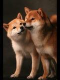 Japanese chin Royalty Free Stock Photography