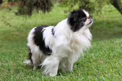 Japanese Chin 4 Stock Photo