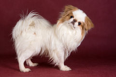 Japanese Chin. In studio on red background Royalty Free Stock Image