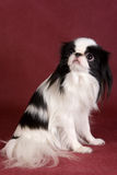 Japanese Chin. In studio on red background Stock Image