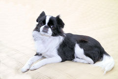Japanese Chin - 6 Royalty Free Stock Photography