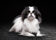 Japanese chin on black background Stock Photography