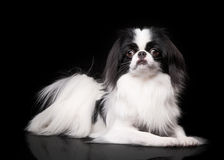 Japanese chin on black background Royalty Free Stock Photography