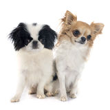 Japanese Chin and chihuahua Stock Photography