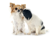 Japanese Chin and chihuahua Royalty Free Stock Images