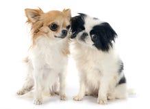 Japanese Chin and chihuahua Stock Photo