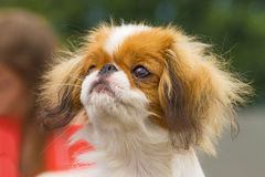 Japanese chin close-up. Japanese chin, green background. Space under the text. 2018 year of the dog in the eastern calendar Concept: parodist dogs, dog friend of Stock Image