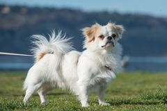 Japanese Chin standing in the grass. Japanese Chin dog bread is standing on the grass near the sea Stock Photos