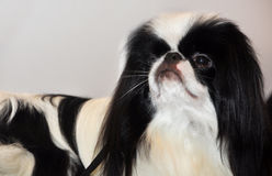 Japanese Chin dog. The Japanese Chin distinctive Oriental expression is characterized by the large broad head, large wide-set eyes, short broad muzzle, ear royalty free stock images