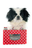 Japanese Chin Royalty Free Stock Photography